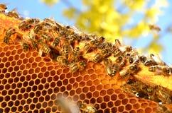 Пчелы на рамке сота в весеннем времени Стоковые Фотографии RF