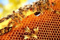 Пчелы на рамке сота в весеннем времени Стоковые Фото