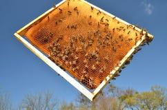 Пчелы на рамке сота в весеннем времени Стоковое Фото