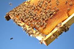 Пчелы на рамке сота в весеннем времени Стоковое Изображение