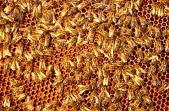 Пчелы на рамке сота Стоковые Изображения