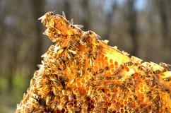 Пчелы на рамке сота Стоковое Фото