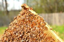 Пчелы на рамке сота Стоковые Изображения RF