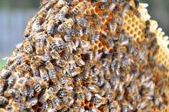 Пчелы на рамке сота Стоковая Фотография