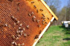 Пчелы на рамке сота Стоковые Фотографии RF