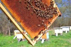 Пчелы на рамке сота Стоковое Изображение