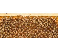 Пчелы на рамке сота Стоковая Фотография RF