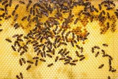 Пчелы на соте в улье Стоковая Фотография