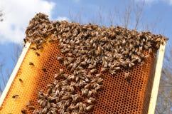 Пчелы на соте Стоковая Фотография RF