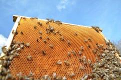Пчелы на соте Стоковое фото RF