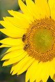 Пчелы на солнцецвете Стоковые Изображения