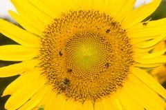 Пчелы на солнцецвете Стоковая Фотография