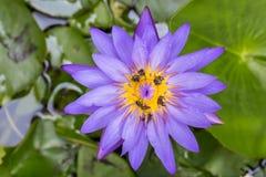 Пчелы на фиолетовом цветке лотоса Стоковое фото RF