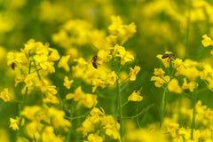 Пчелы на цветении рапса Фотосессия макроса предпосылка расплывчатая Желтое поле Стоковые Изображения RF