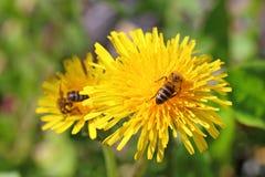 Пчелы на цветках Стоковые Фотографии RF