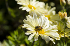 Пчелы на цветках Стоковые Изображения RF