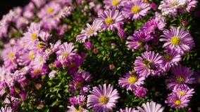 Пчелы на цветках видеоматериал