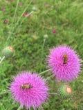 Пчелы на цветках Стоковое Изображение RF