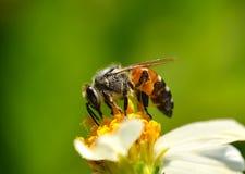Пчелы на цветке Стоковые Фотографии RF