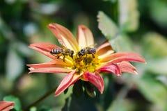 Пчелы на цветке Стоковое фото RF