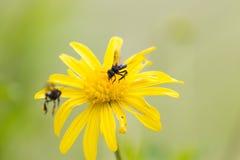 Пчелы на цветке Стоковые Изображения RF