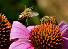 Пчелы на coneflower Стоковое Фото