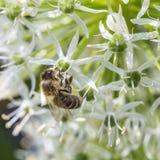 Пчелы на sphaerocephalon лукабатуна Стоковое фото RF