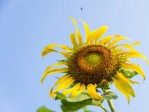 Пчелы на sunflower4 Стоковые Изображения