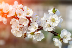 Пчелы опыляют молодые цветки в саде, опыление дерева деревьев красивой весны природы цветя Apiculture Стоковая Фотография RF