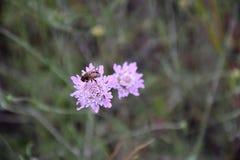 Пчелы опыляют цветки в саде Стоковая Фотография RF