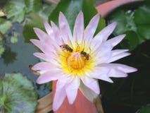 Пчелы опыляя цветок лотоса Стоковые Фотографии RF