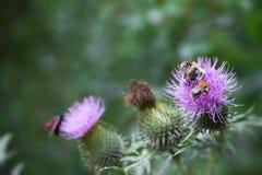 пчелы опыляя Стоковое Фото