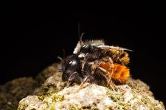 пчелы одичалые Стоковое Изображение