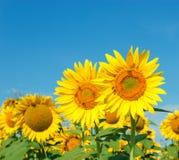 Пчелы, пчелы на солнцецвете Стоковые Изображения RF