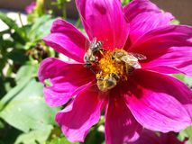 Пчелы работая крепко на цветке Стоковое Изображение