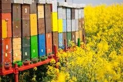 Пчелы работая на поле Стоковые Фото