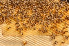 Пчелы работая на соте, роясь Стоковые Изображения RF