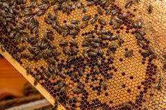 Пчелы работая на соте Стоковые Фото