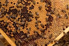 Пчелы работая на соте Стоковая Фотография RF