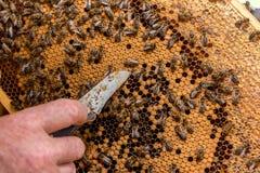 Пчелы работая на соте Стоковые Изображения RF
