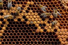 Пчелы работая на соте Стоковая Фотография