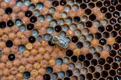 Пчелы работая на соте Стоковое Изображение RF