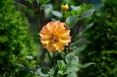 Пчелы работая на цветке Стоковая Фотография RF