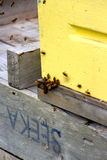 Пчелы работников крепко на работе собирая мед Стоковая Фотография