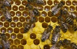 Пчелы работы в крапивнице Стоковое фото RF
