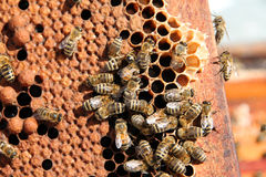 Пчелы связанные на рамке сота Стоковые Изображения RF