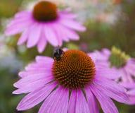 пчелы собирают мед Стоковое Изображение