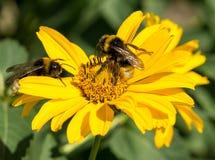 2 пчелы собирают цветень от астры цветков желтого цвета постоянной Стоковые Фото