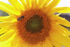 Пчелы собирая нектар на солнцецвете Конец-вверх Стоковая Фотография RF