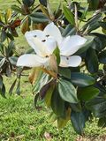 Пчелы цветка весны Стоковые Фото